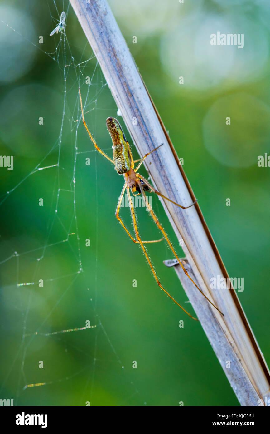 Streckerspinne (Tetragnatha montana), Bayern, Deutschland - Stock Image