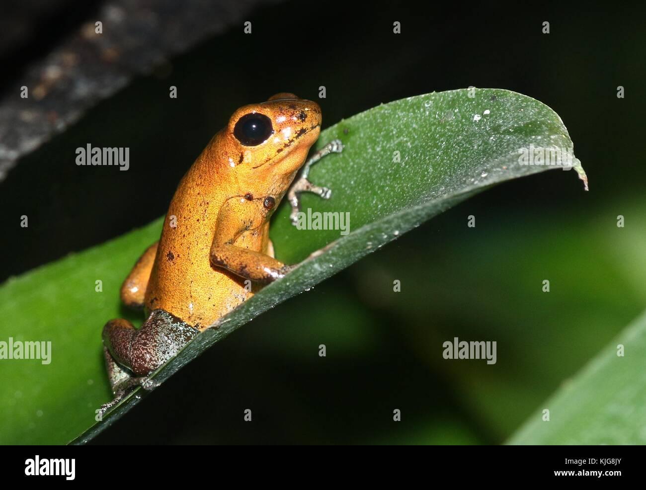 Central American Strawberry poison (dart) frog (Oophaga pumilio, Dendrobates pumilio) - Subspecies Almirante, yellow - Stock Image