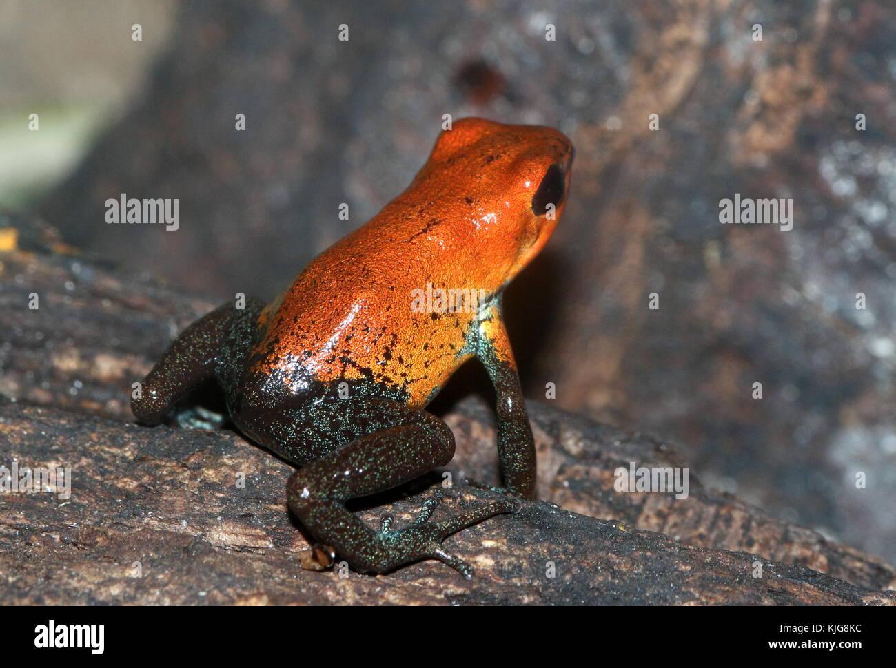 Central American Strawberry poison (dart) frog (Oophaga pumilio, Dendrobates pumilio) - Subspecies Almirante, red - Stock Image
