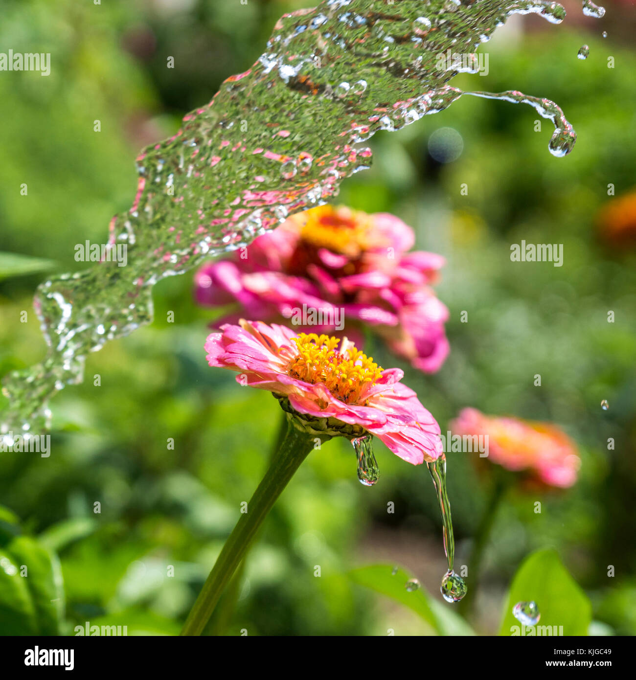 Flush of water and wet Gerbera - Stock Image