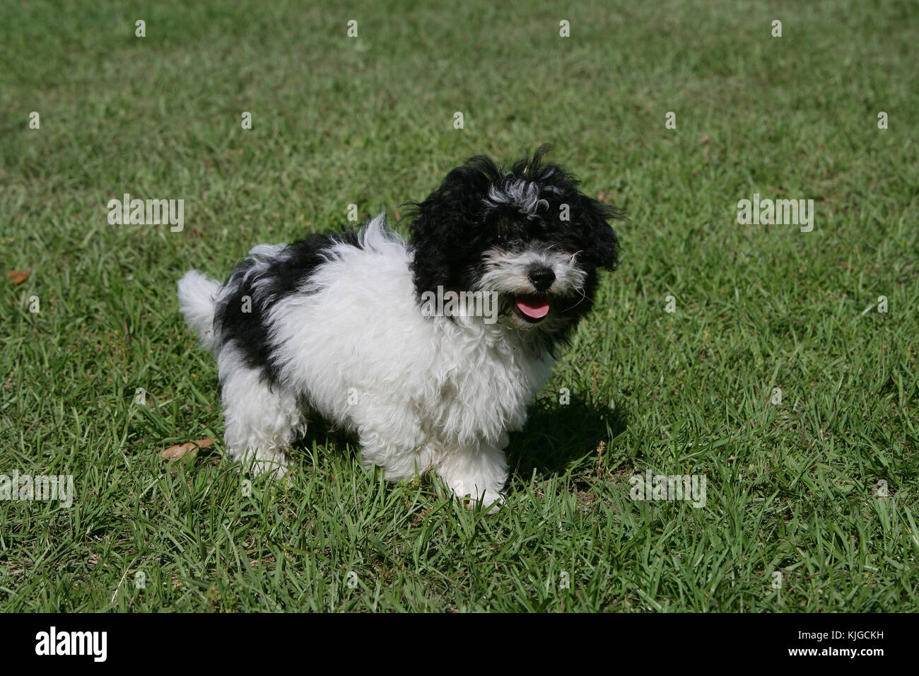 black maltese poodle maltipoo stock photos maltipoo stock images alamy 6065