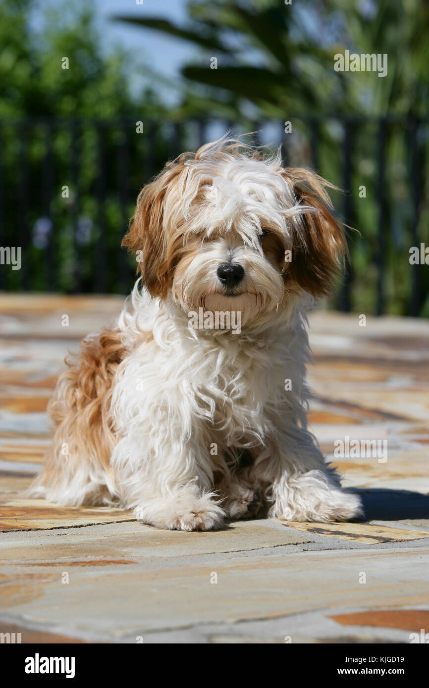 Maltipoo Maltese Terrier x Poodle Sitting - Stock Image