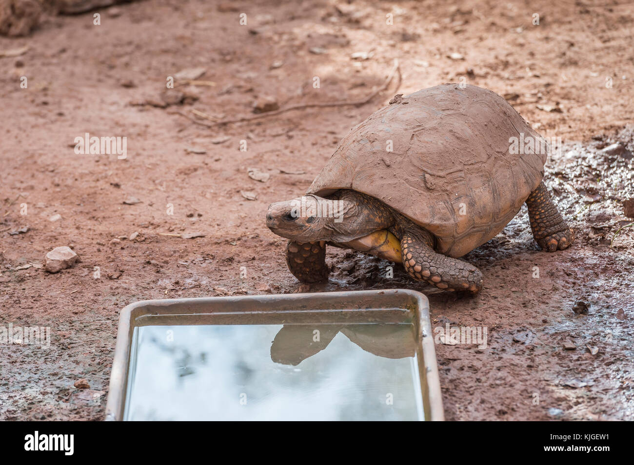 TORTUE GEANTE ASIATIQUE , Carnoules Var France - Stock Image