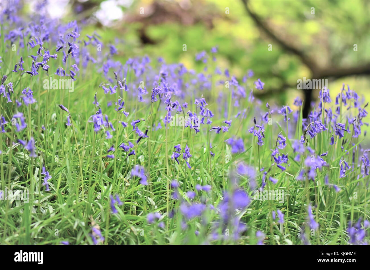 A Glorious Springtime Close-up of a Typical Woodland Carpet of Bluebells - Stock Image