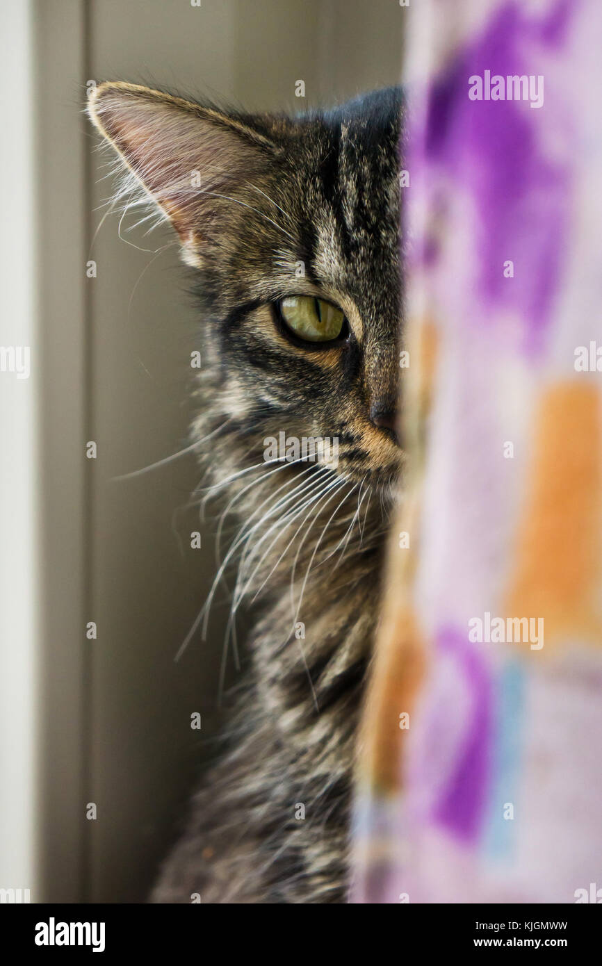 crossbreed cat partially hidden behind a curtain - Stock Image