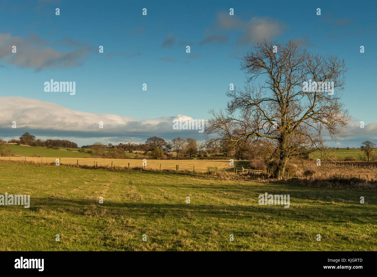 Teesdale landscape, November 2017, looking east from Hutton Magna, single bare ash tree, farmland, sheep grazing, - Stock Image
