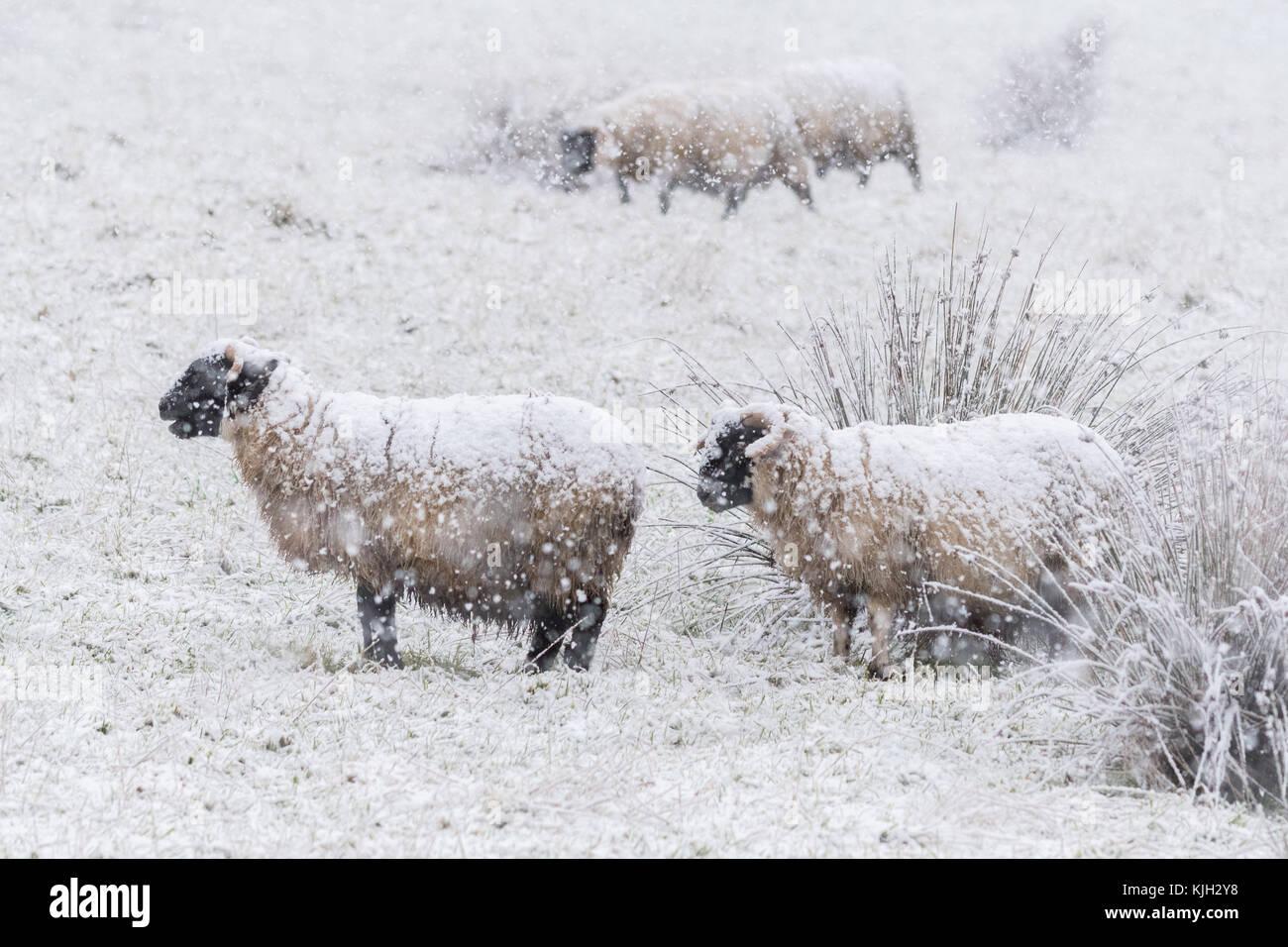 Dumgoyne, Stirlingshire, Scotland, UK. 24th Nov, 2017. UK weather - heavy snow falling on sheep at Dumgoyne, Stirlingshire, - Stock Image
