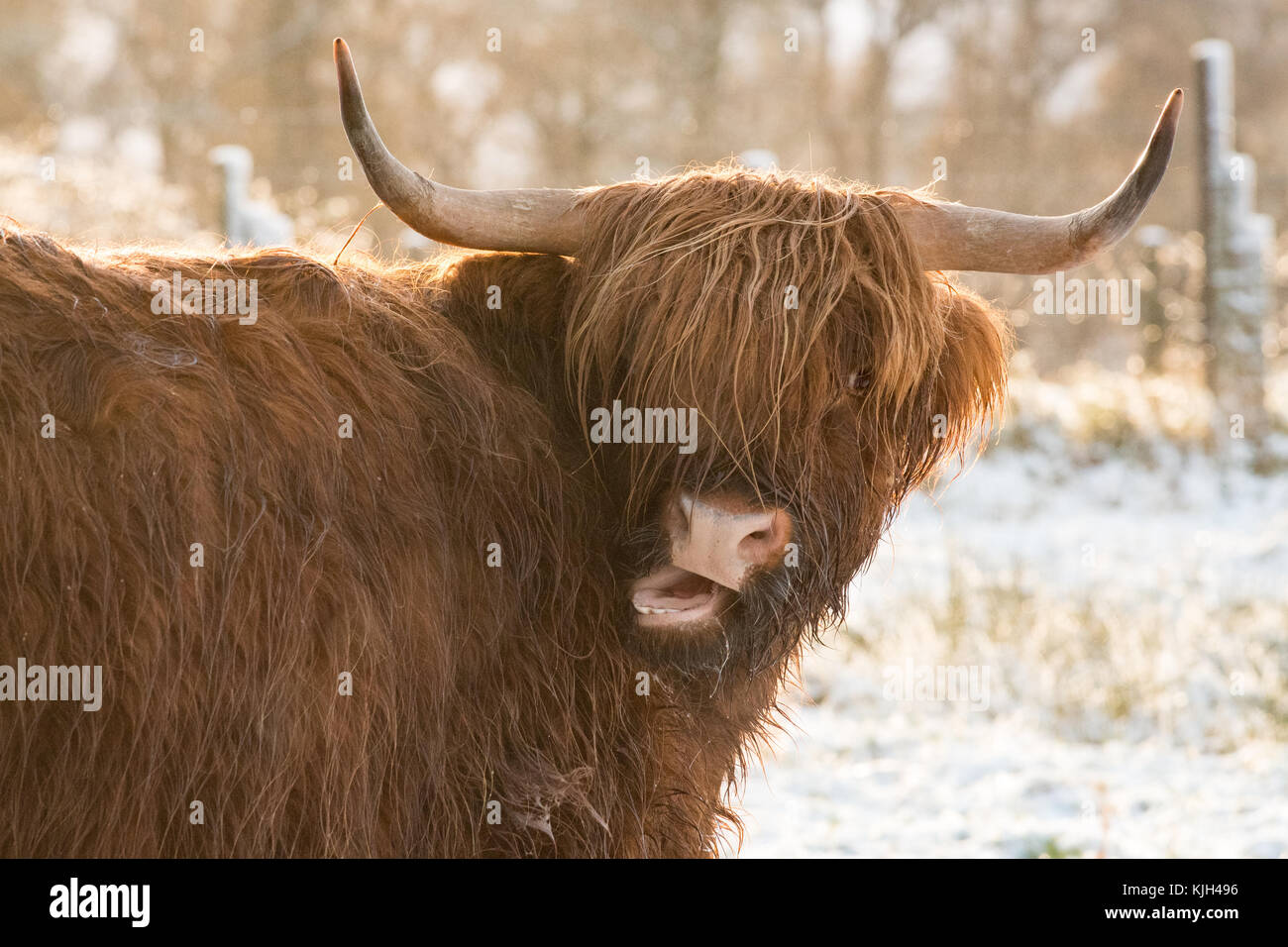 Stirlingshire, Scotland, UK. 24th Nov, 2017. UK weather: a highland cow drying off in the winter sunshine after - Stock Image