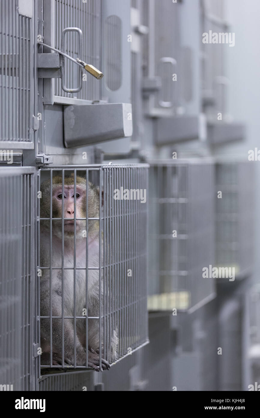 Muenster, Germany. 24th Nov, 2017. A macaque sits in a cage in the laboratory of the Central Institute for Animal - Stock Image