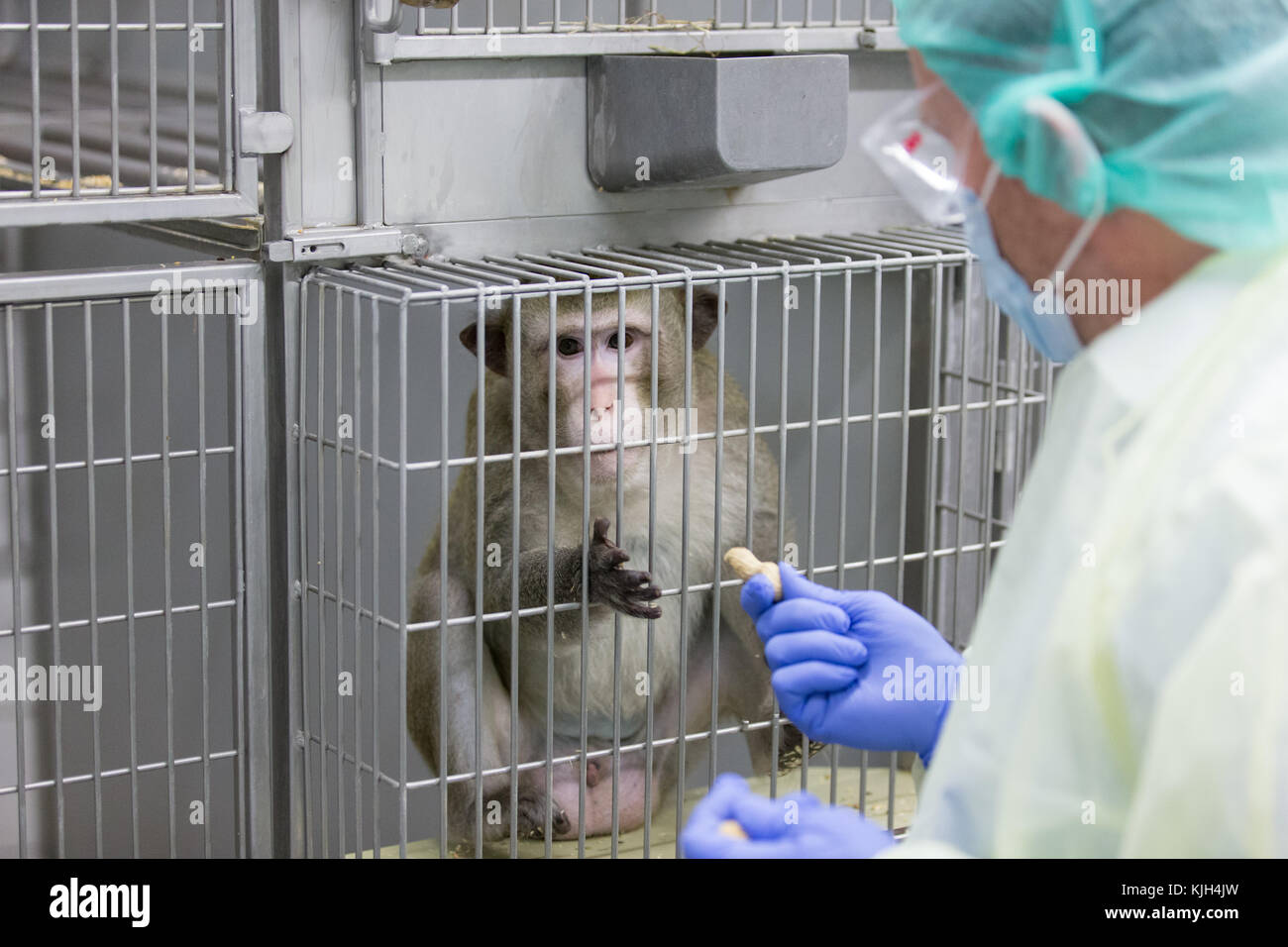 Muenster, Germany. 24th Nov, 2017. Prof. Dr. Stefan Schlatt from the Medical Faculty feeds a macaque through a cage - Stock Image