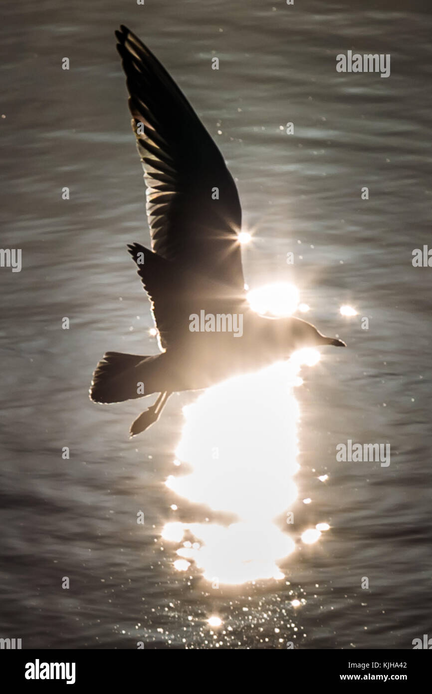 London, UK. 25th Nov, 2017. UK Weather: A Common Gull flies in the morning winter sun on Canada Water freshwater - Stock Image