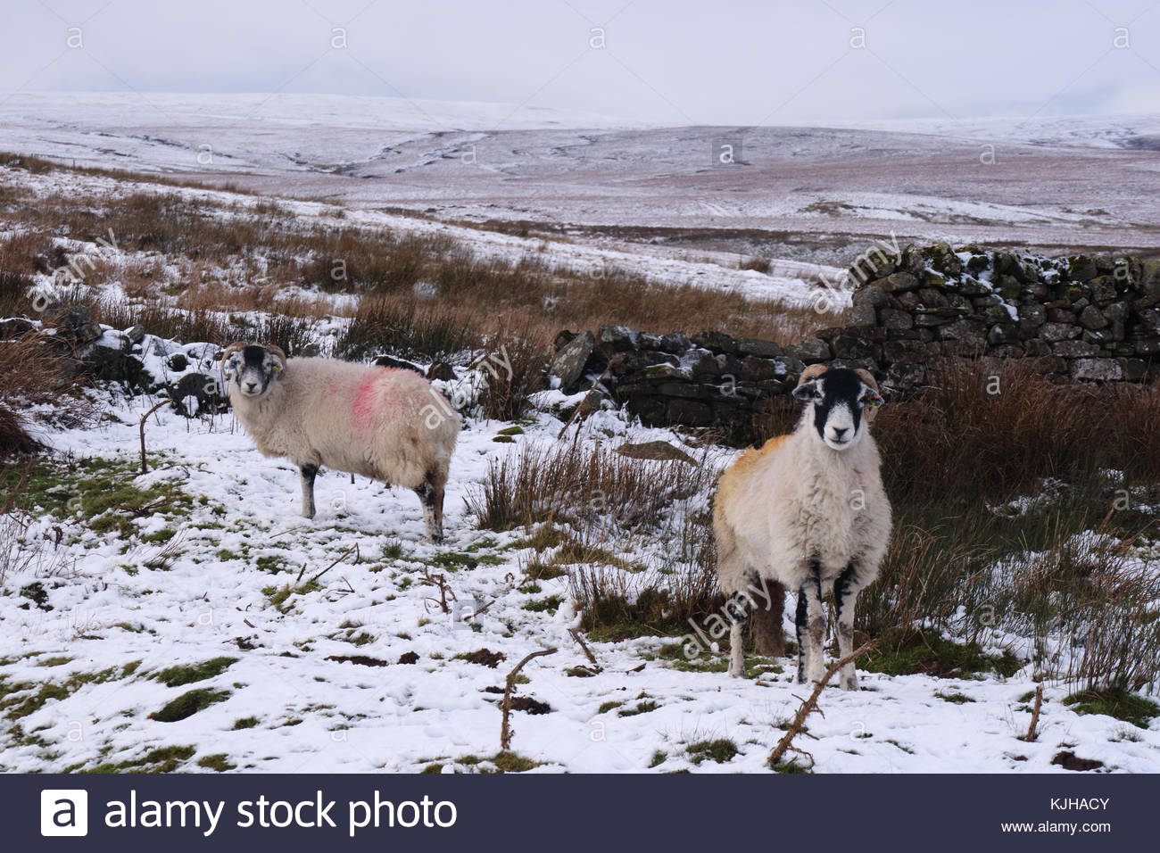 B6276 Middleton-in-Teesdale to Brough Road, Co Durham, UK. 25th Nov, 2017. On Wemmergill Moor the colourful sheep - Stock Image