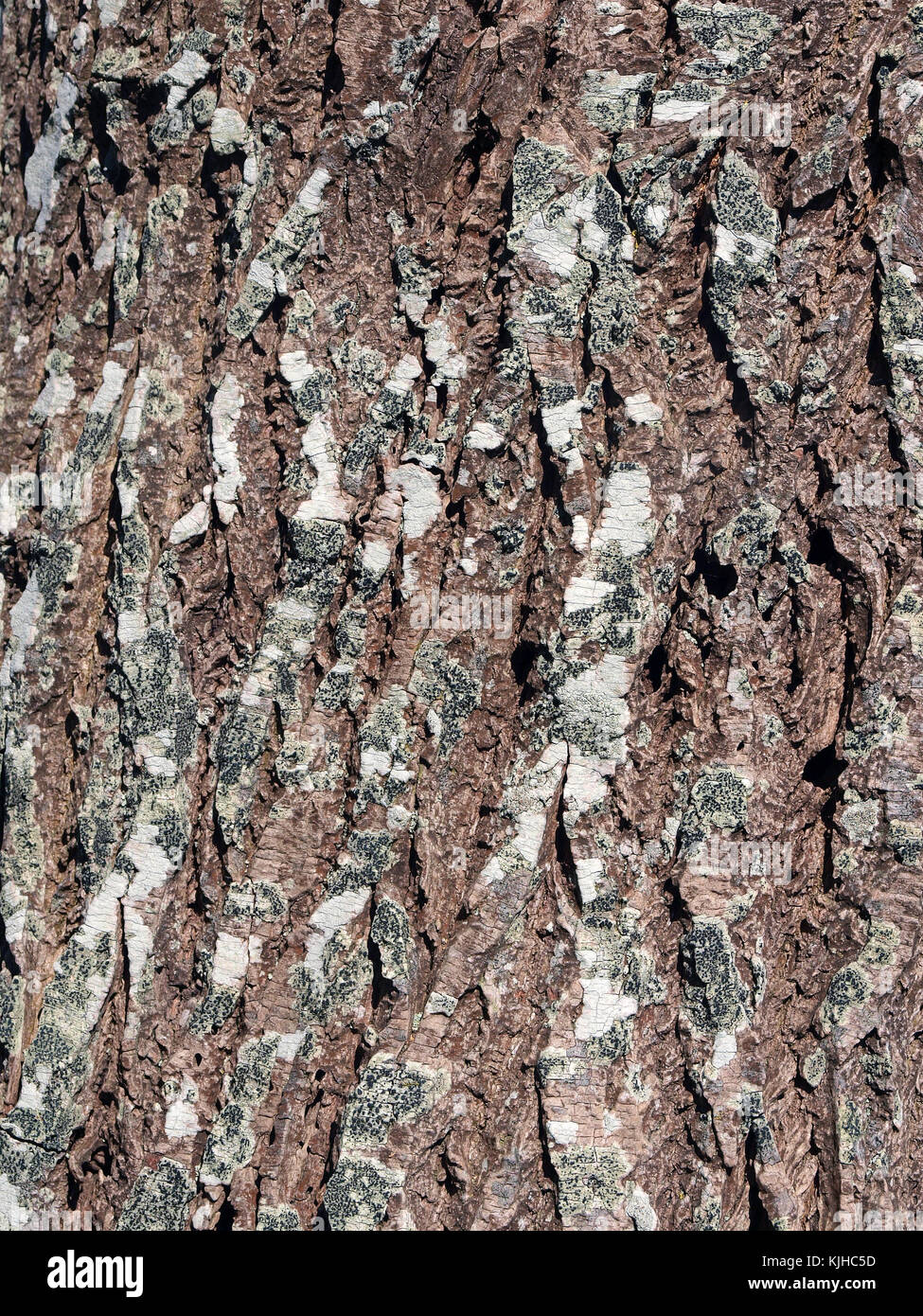 Alder tree bark surface texture close up as background - Stock Image