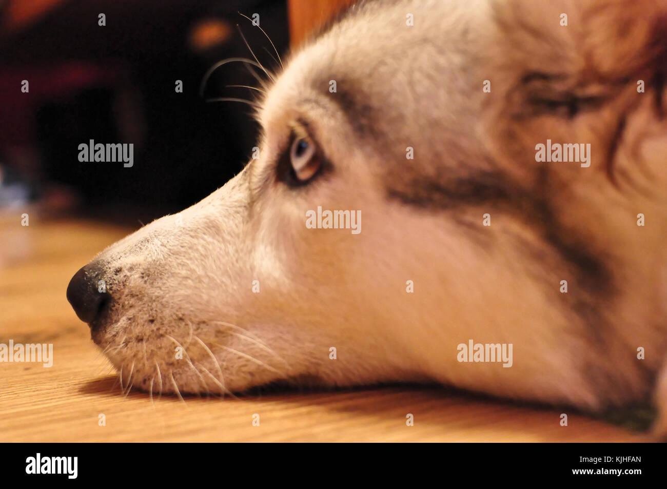 Elza Siberian Husky Female Blue Eyes Portrait - Stock Image