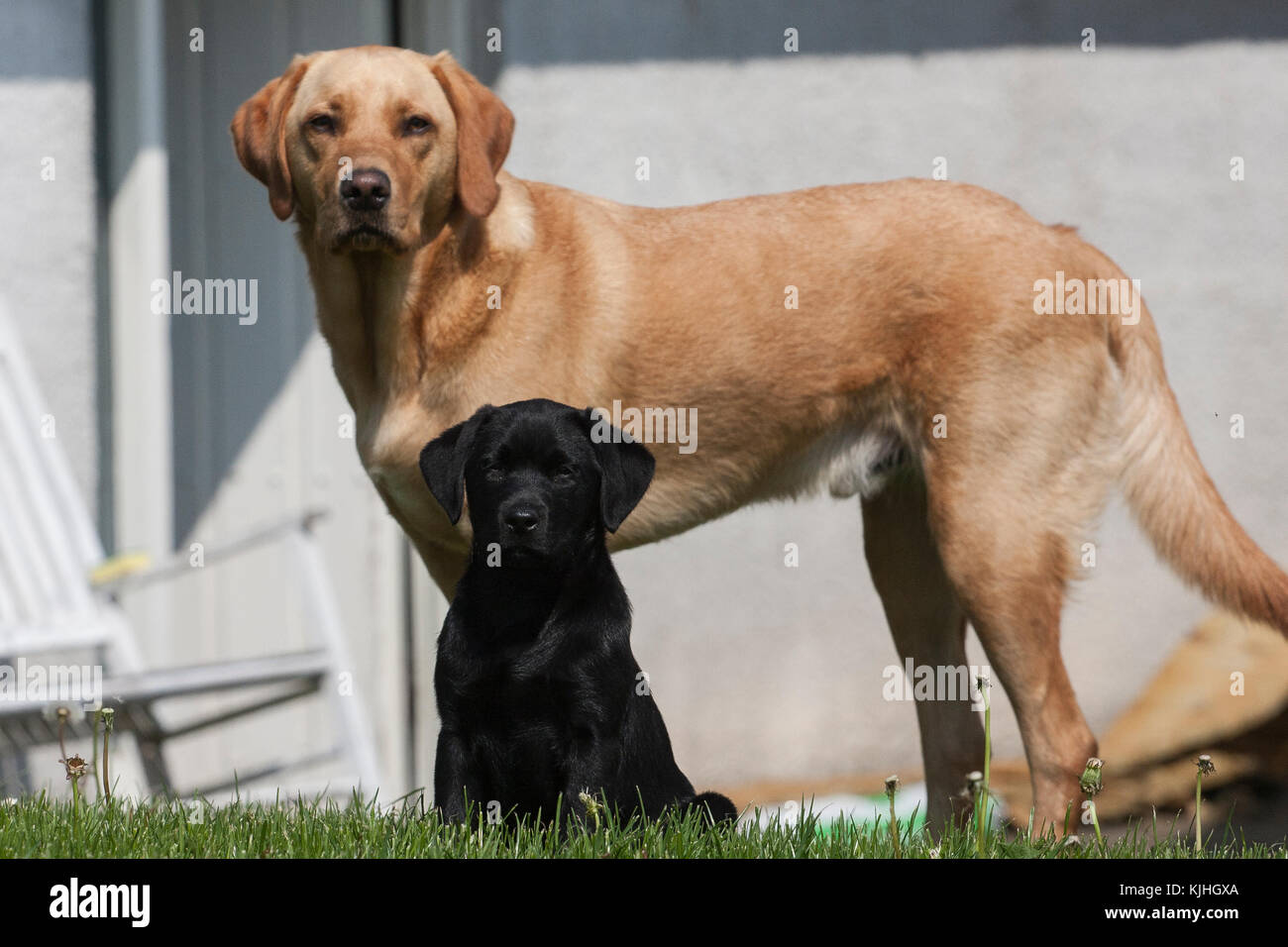 Adult Yellow Labrador And Puppy Black Labrador Togehter Gammelstrup Denmark Stock Photo Alamy
