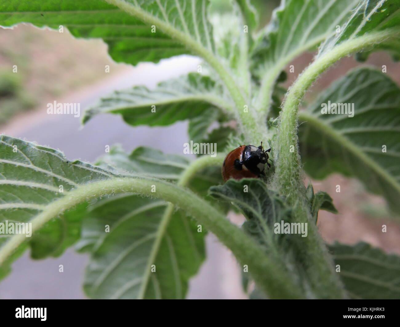 Una piccolo insetto su una pianta lei fa veramente bene alle pianta perché mangia gli afidi cosi facendo salva - Stock Image