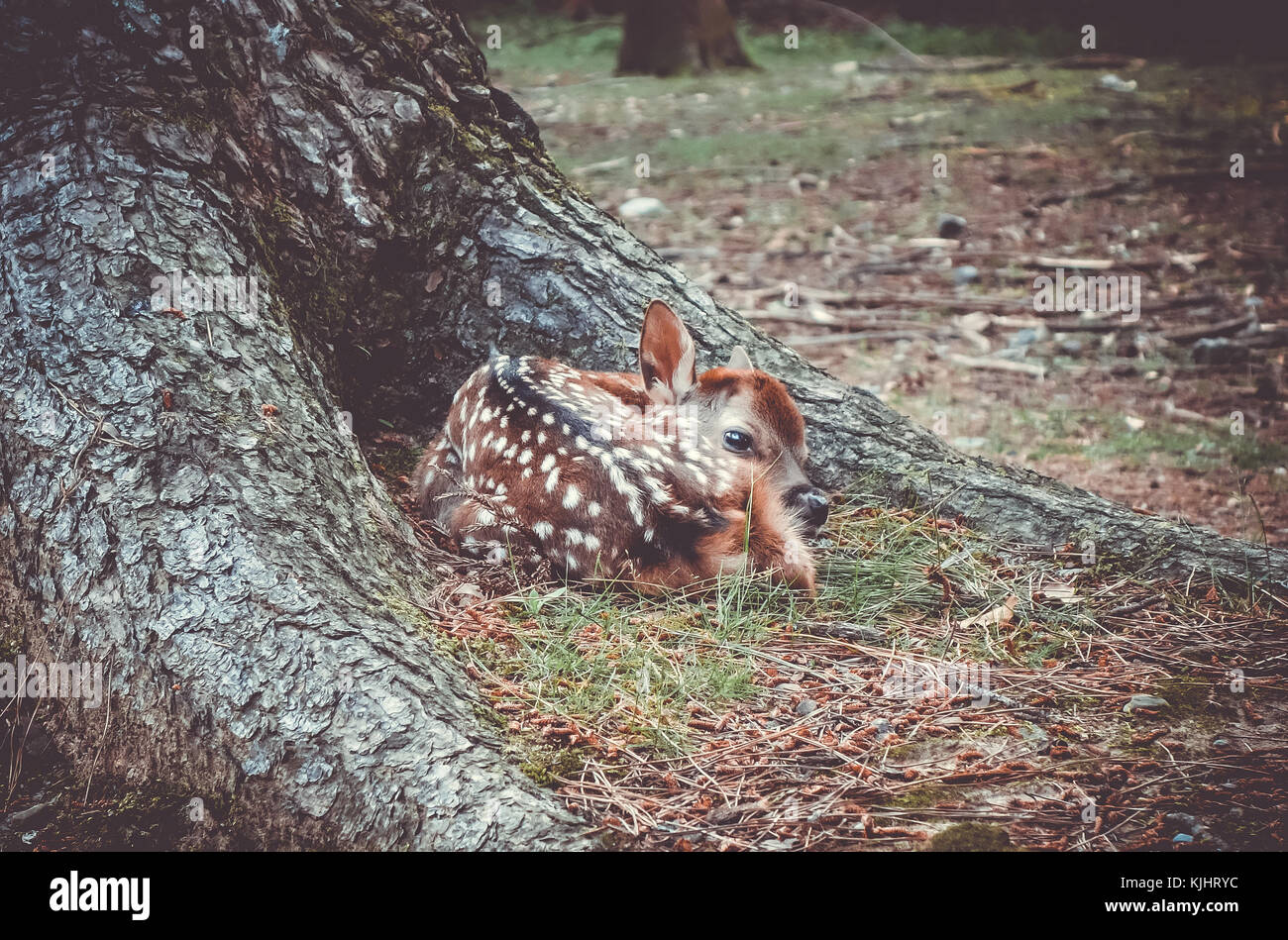 New born Sika fawn deer in Nara Park forest, Japan - Stock Image