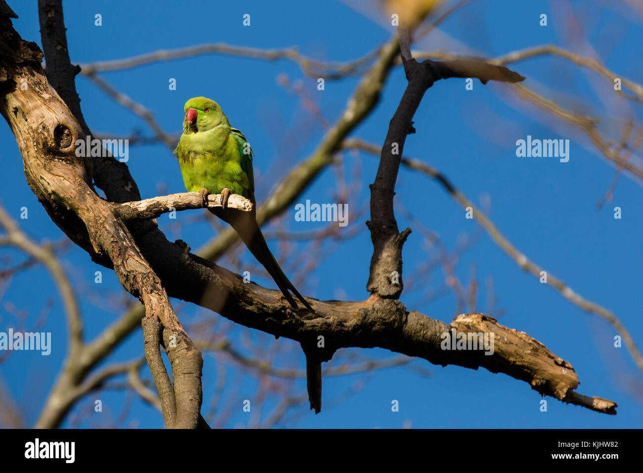 A lone ring necked parakeet resting on a tree branch, Barn Hill, Wembley Park - Stock Image