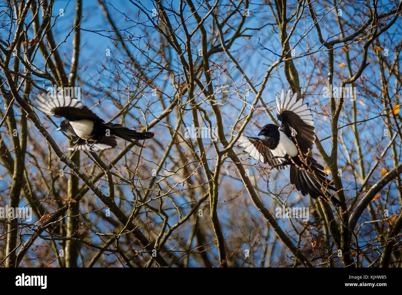 Magpies, Barn Hill, Wembley Park - Stock Image