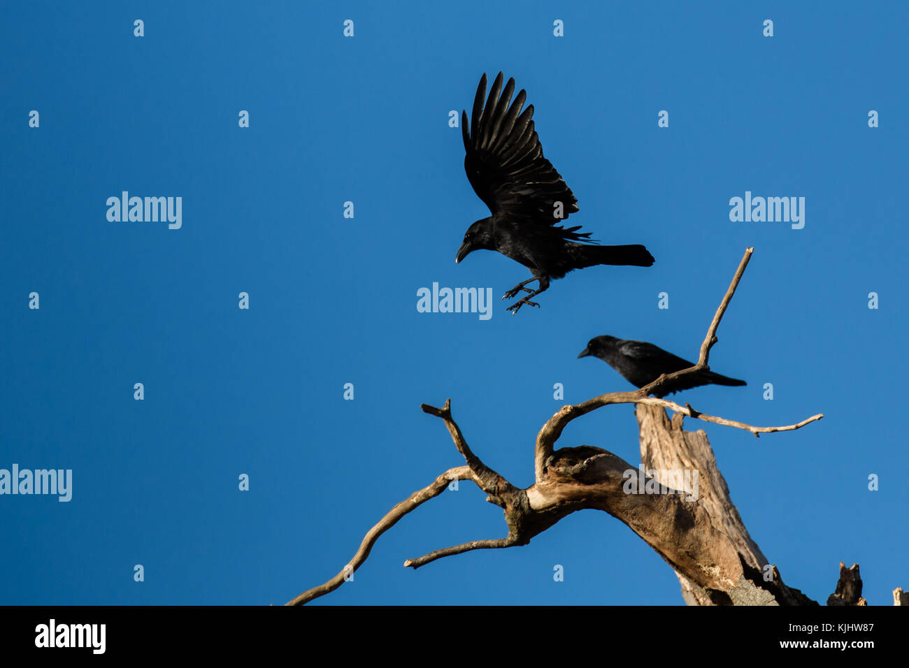 Rooks, Barn Hill, Wembley Park - Stock Image