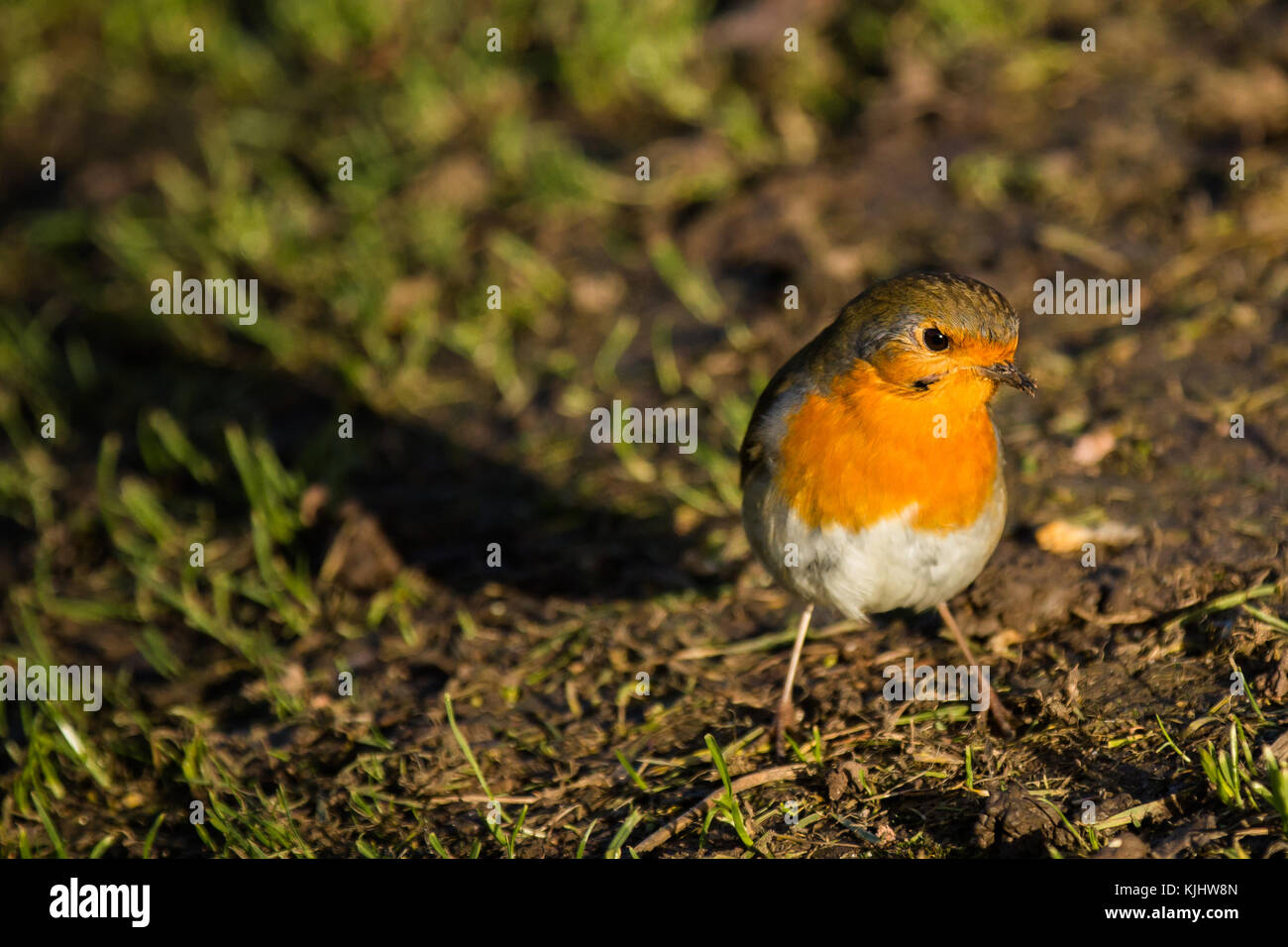 A little robin, with a muddy beak on the grass. Barn Hill, Wembley Park - Stock Image