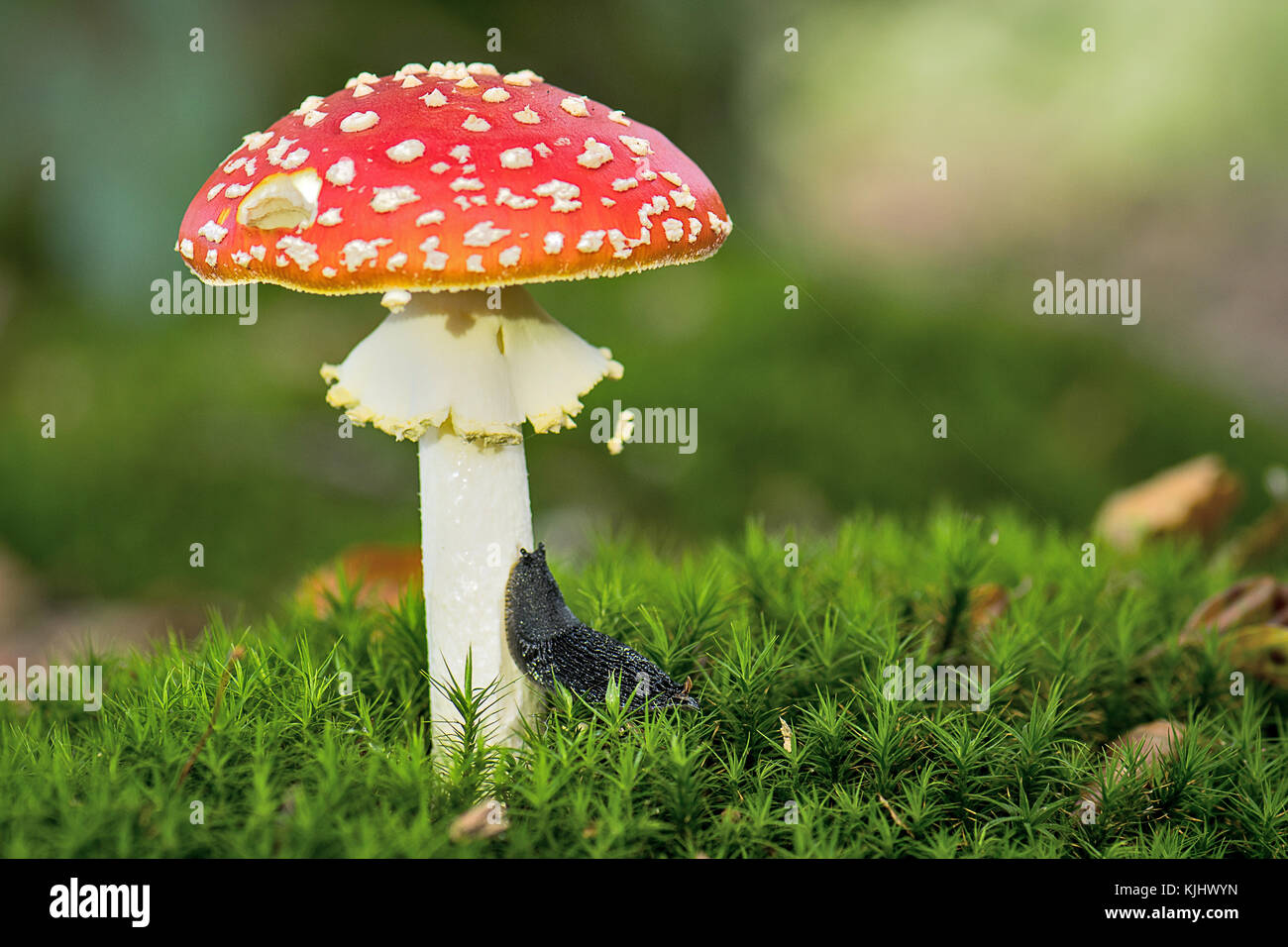 Slug crawling up a toadstool, Ihlow, Lower Saxony, Germany Stock Photo