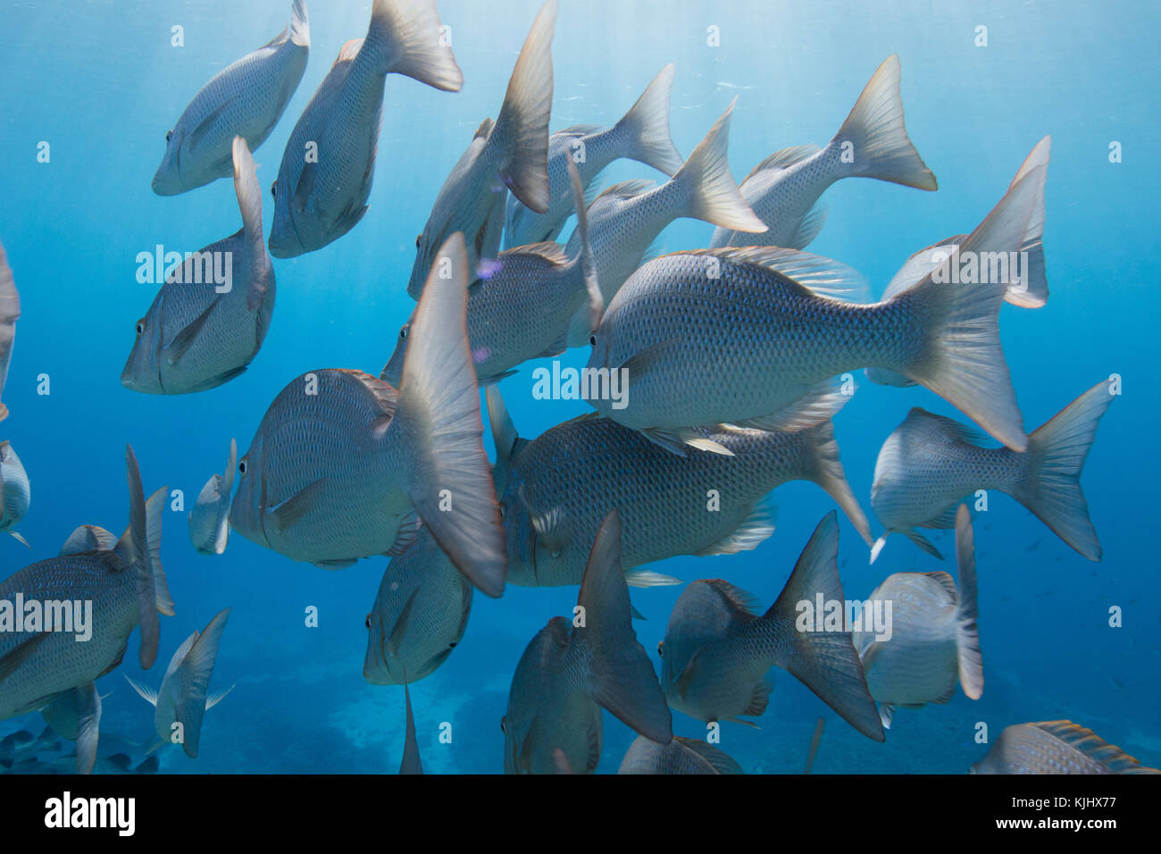 School of fish swimming underwater, Lady Elliot Island, Queensland, Australia Stock Photo