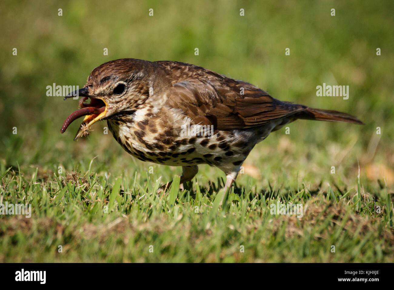 This Song Thrush certainly wasn't early. He/She was caught in the middle of breakfast at about 6pm. - Stock Image