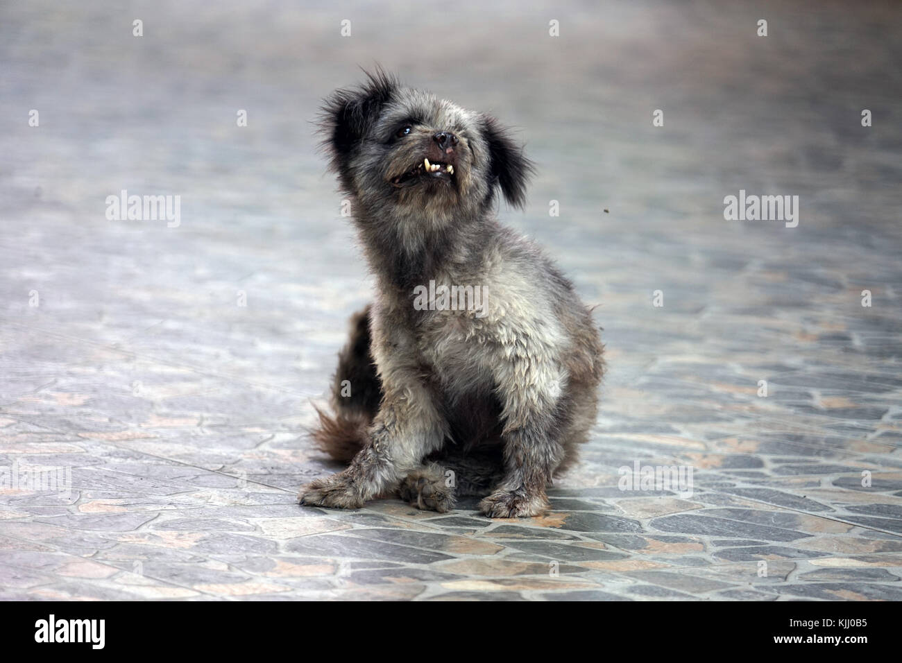 Dog in Thailand ugly cute grey black Asia . - Stock Image