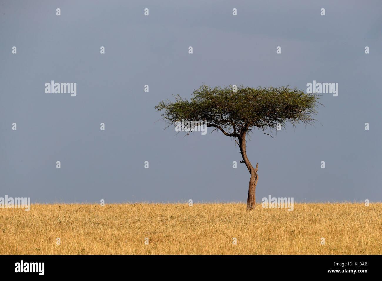 Acacia tree in the savanna.  Masai Mara game reserve. Kenya. Stock Photo