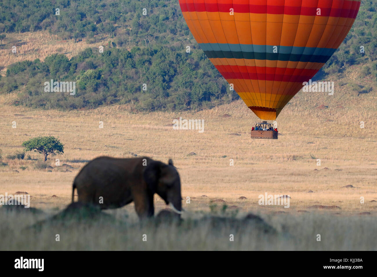 African Elephant (Loxodonta africana) and hot air balloon.  Masai Mara game reserve. Kenya. - Stock Image