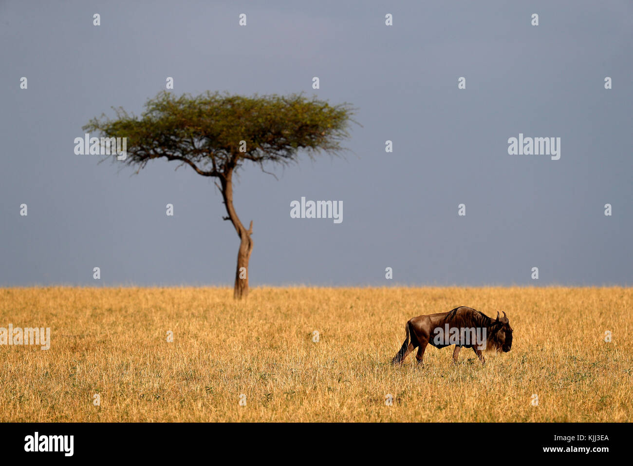 African savanna, acacia and  wildebeest. Masai Mara game reserve. Kenya. - Stock Image