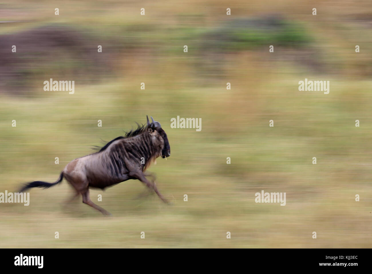 Motion blur of a running wildebeest  (Connochaetes taurinus) in tall grass. Masai Mara game reserve. Kenya. - Stock Image