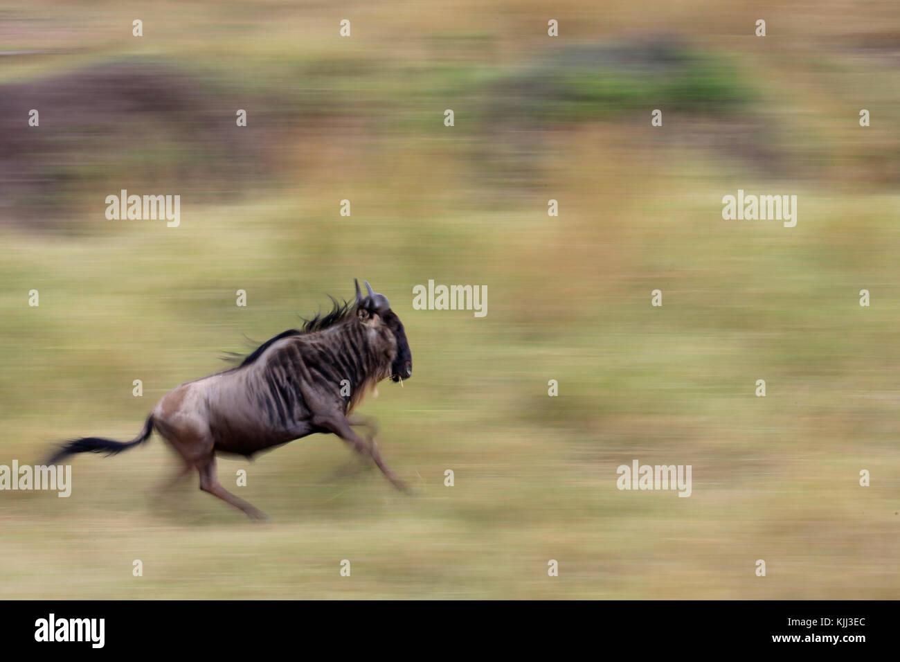 Motion blur of a running wildebeest  (Connochaetes taurinus) in tall grass. Masai Mara game reserve. Kenya. Stock Photo