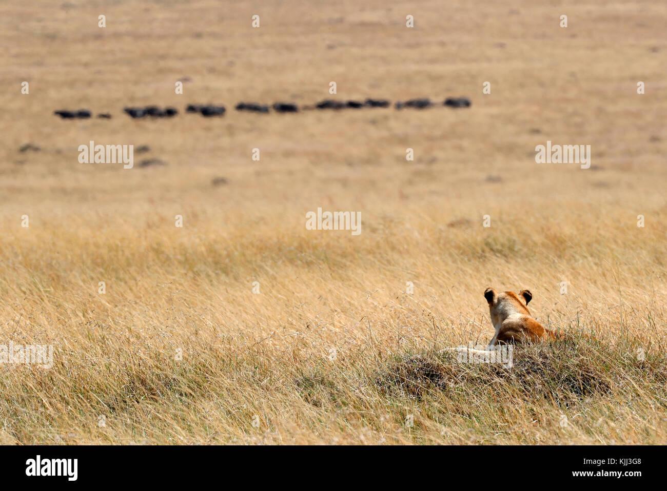 Lioness (Panthera leo) looking at buffalos herd. Masai Mara game reserve. Kenya. - Stock Image