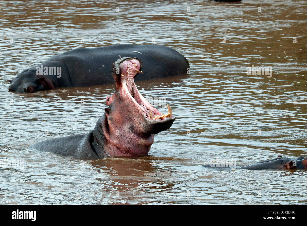 Hippopotamus (Hippopatamus amphibius)  in water with mouh wide open.  Masai Mara game reserve. Kenya. - Stock Image