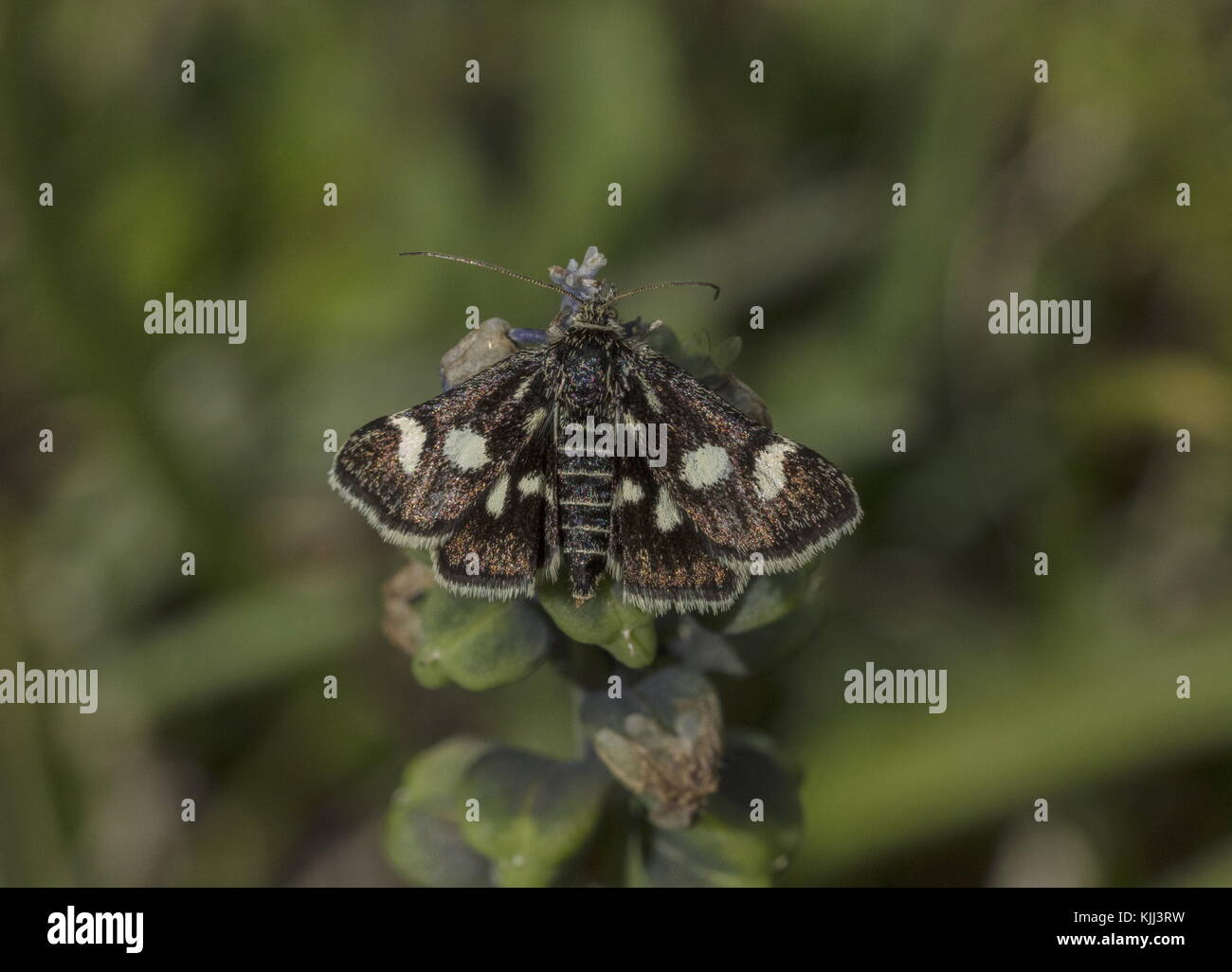 White-spotted Black, Eurrhypis pollinalis, moth basking in the sun; Maritime Alps, France. - Stock Image
