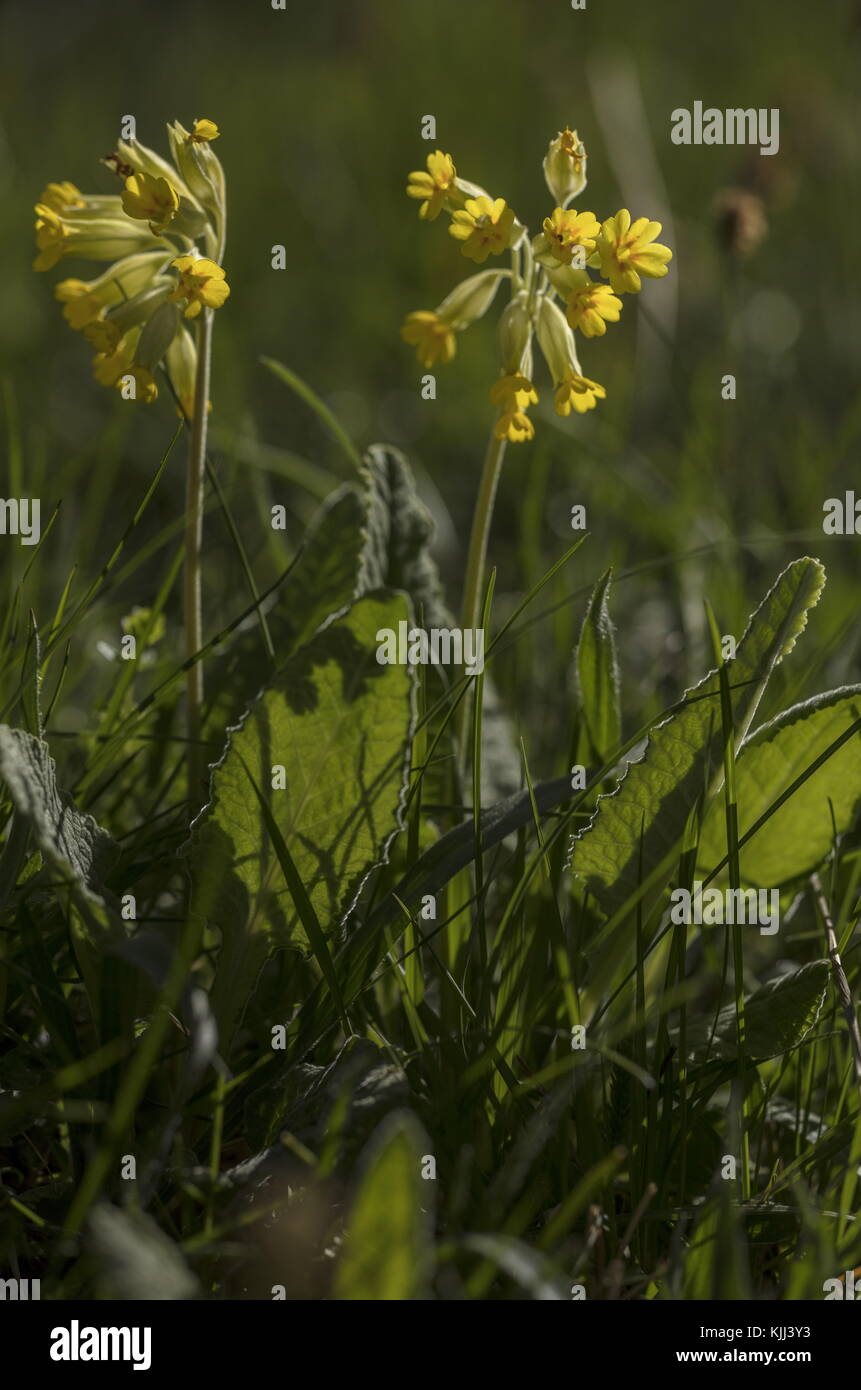 Cowslip, Primula veris in flower in meadow, against the light. Stock Photo