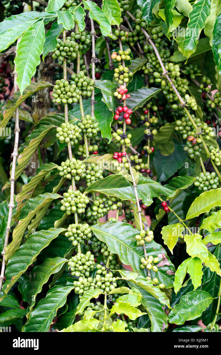 Coffee tree with coffee bean on cafe plantation. Kon Tum. Vietnam. - Stock Image