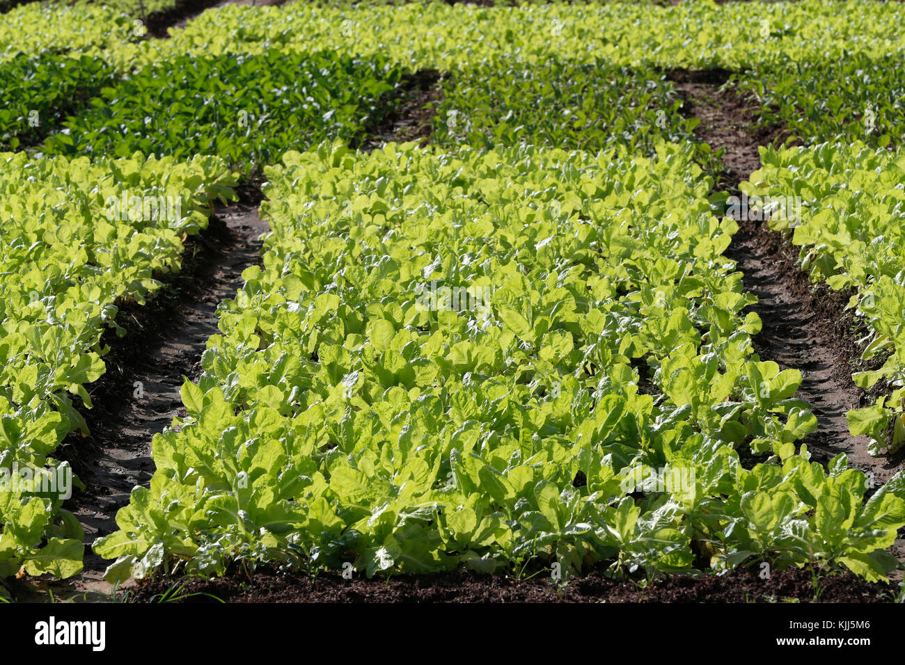 Agricultural fields. Heads of lettuce emerge from the soil to grow in the sun. Kon Tum. Vietnam. - Stock Image