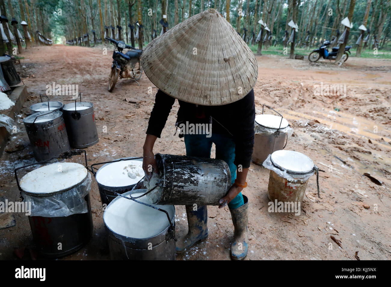 Rubber Tree Latex Collection And Rubber Production.  Kon Tum. Vietnam. - Stock Image