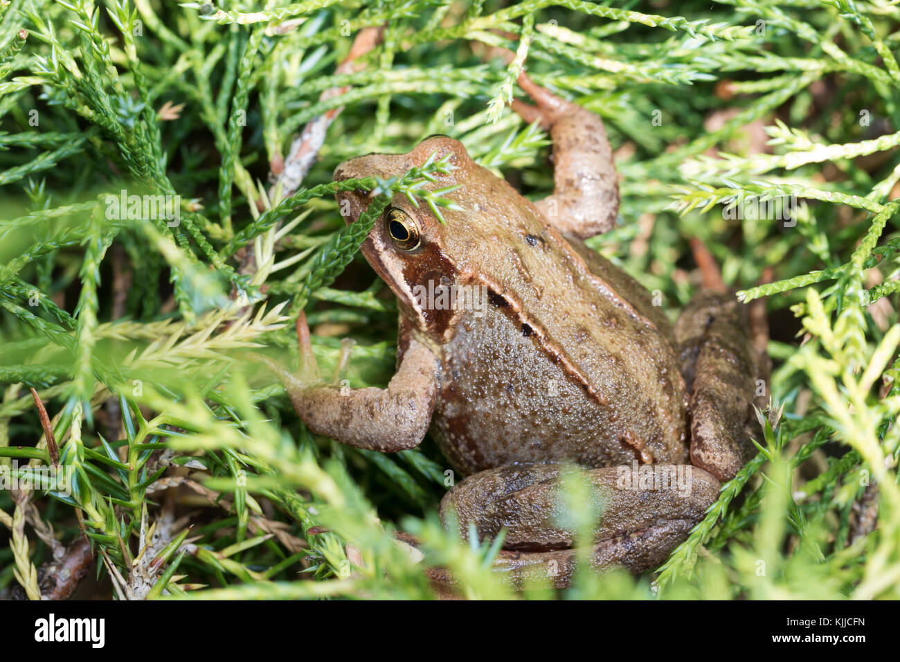 Wildlife: Common frog. (Rana temporaria). - Stock Image