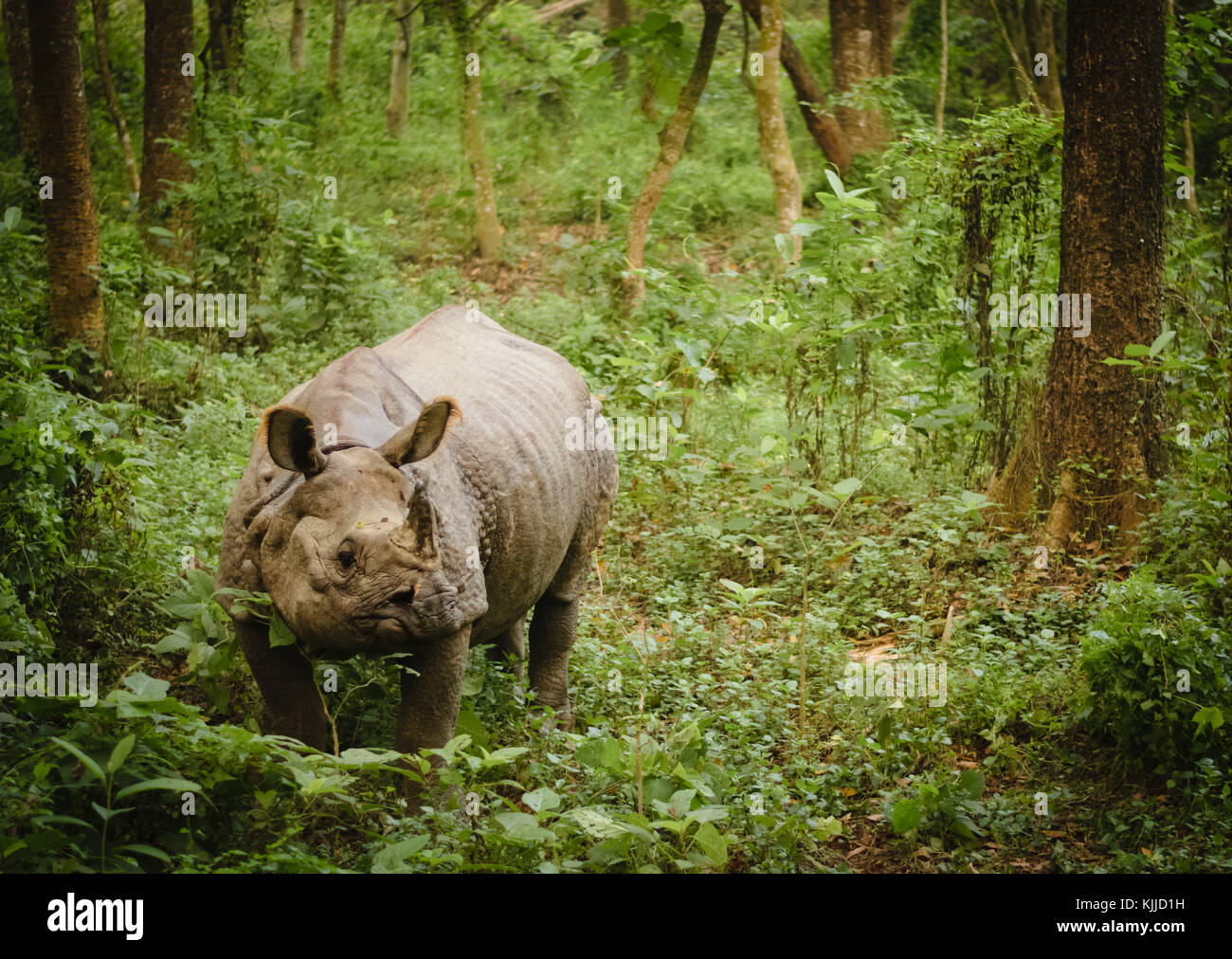 Isolated Indian one horned rhinoceros in Chitwan National Park, Nepal. - Stock Image