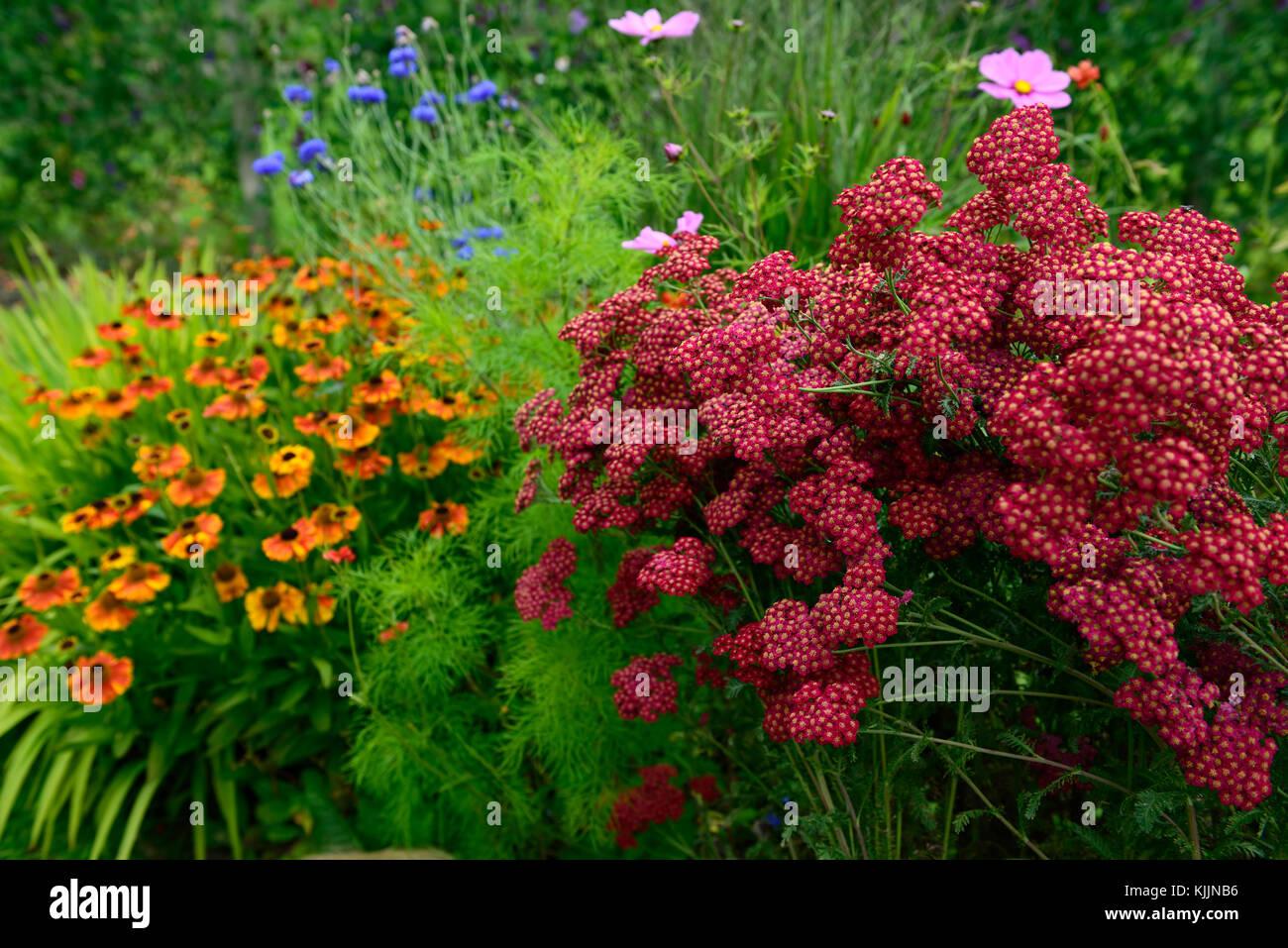 Achillea millefolium Red Velvet,helenium, red, orange, flower Stock ...