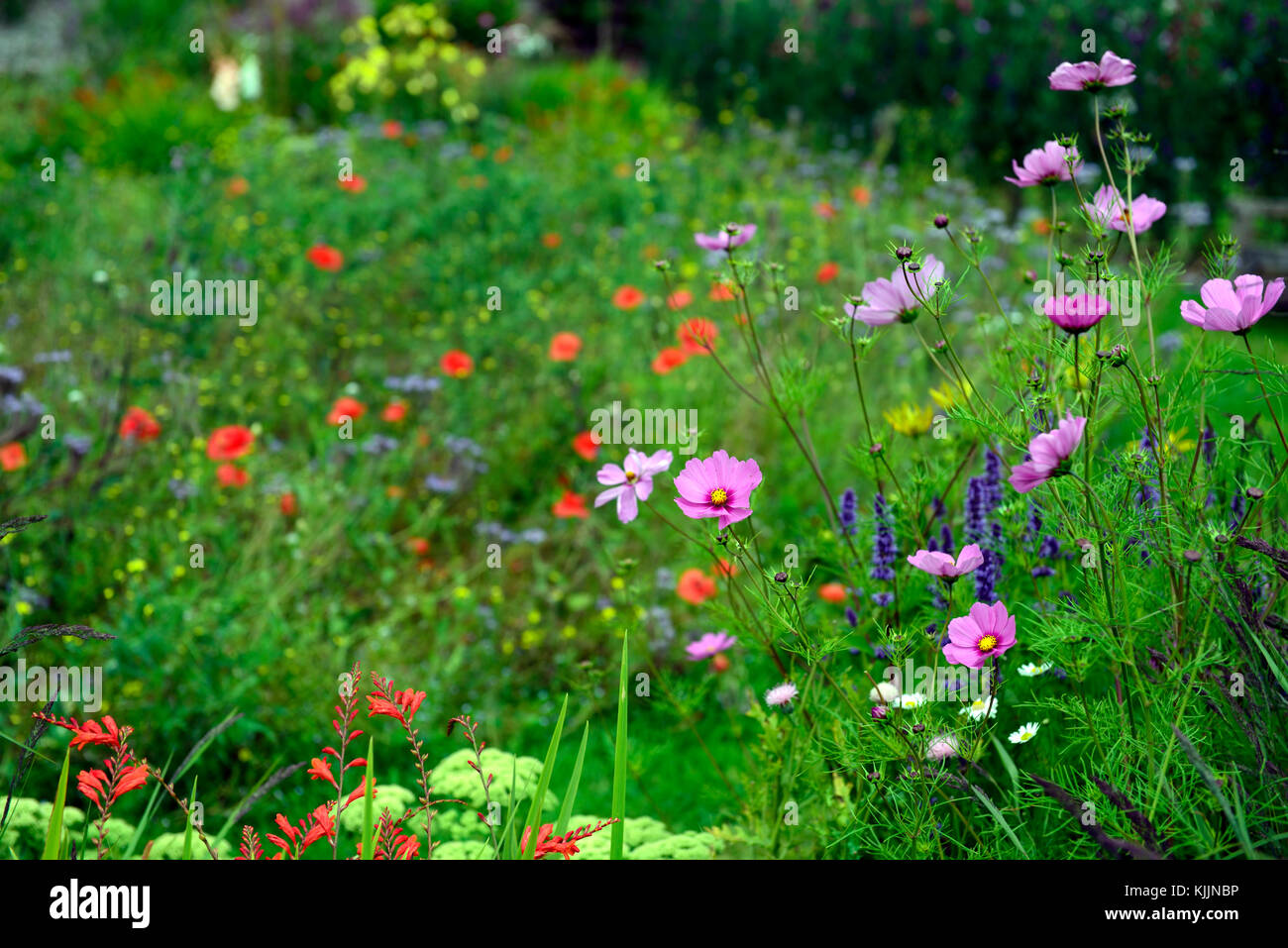 Cosmos flower single pink annualannuals flower flowers stock cosmos flower single pink annualannuals flower flowers flowering rm floral izmirmasajfo
