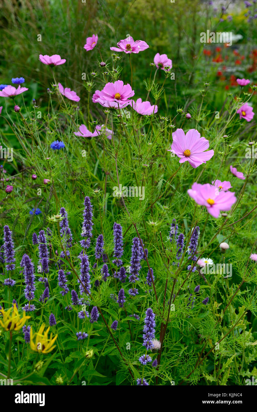 Cosmos Flower Flowers Pink Agastache Purple Annual Perennial