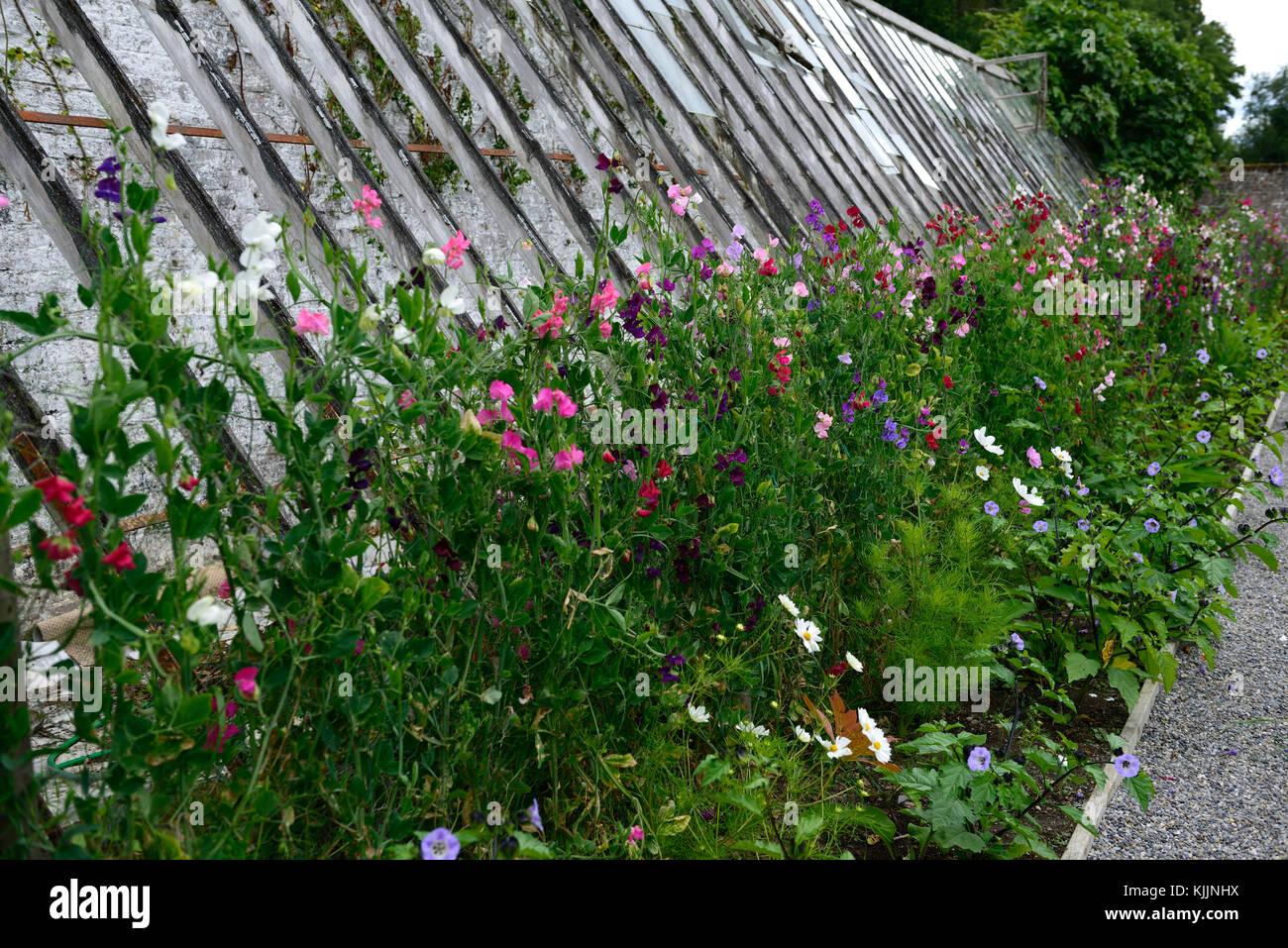 Lathyrus Sweet Peas Sweet Pea Trellis Fence Grow Growing Up