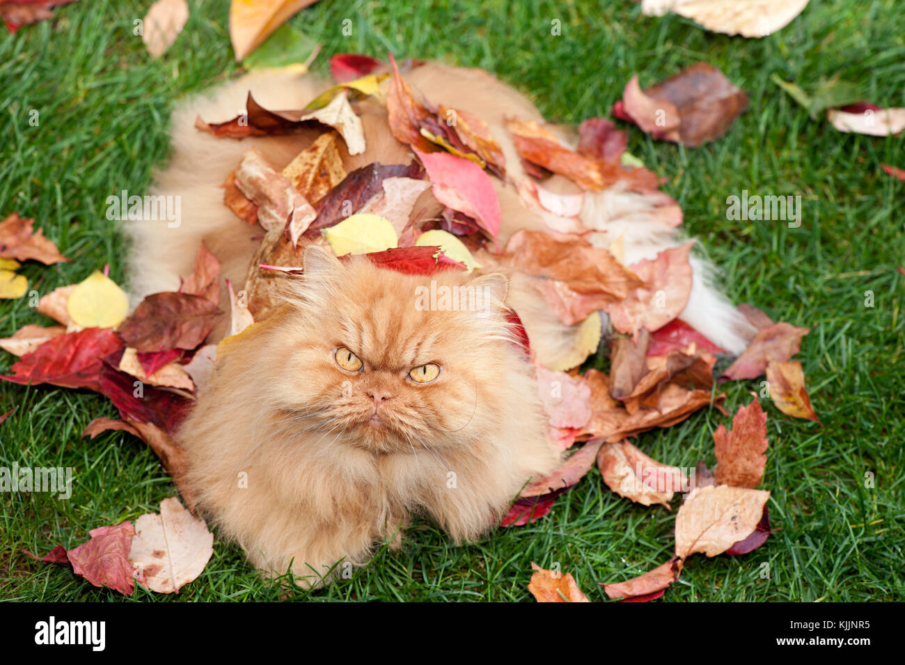 Orange Persian cat with leaves in fall - Stock Image
