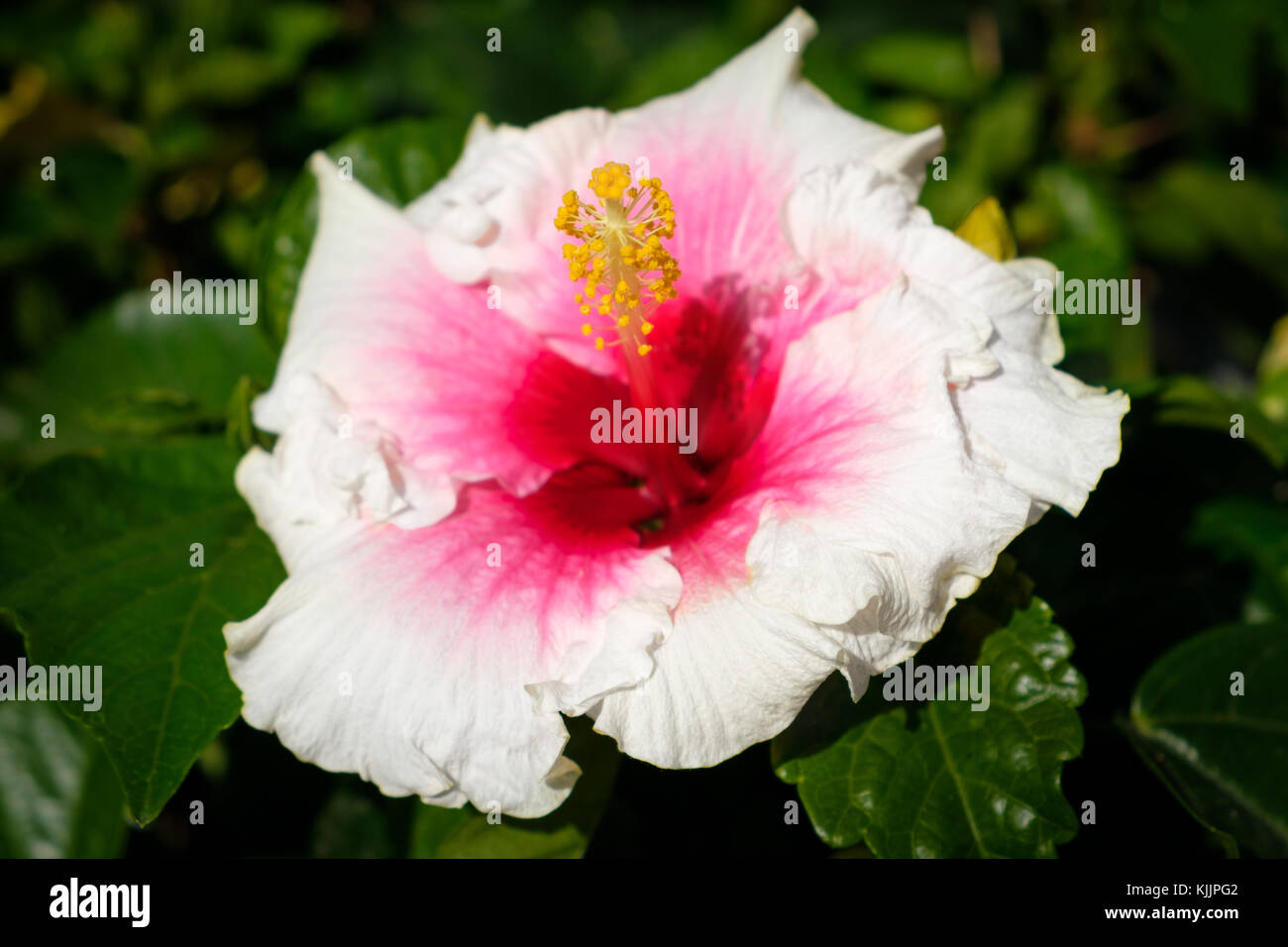 Roselle Flowers Stock Photos Roselle Flowers Stock Images Alamy