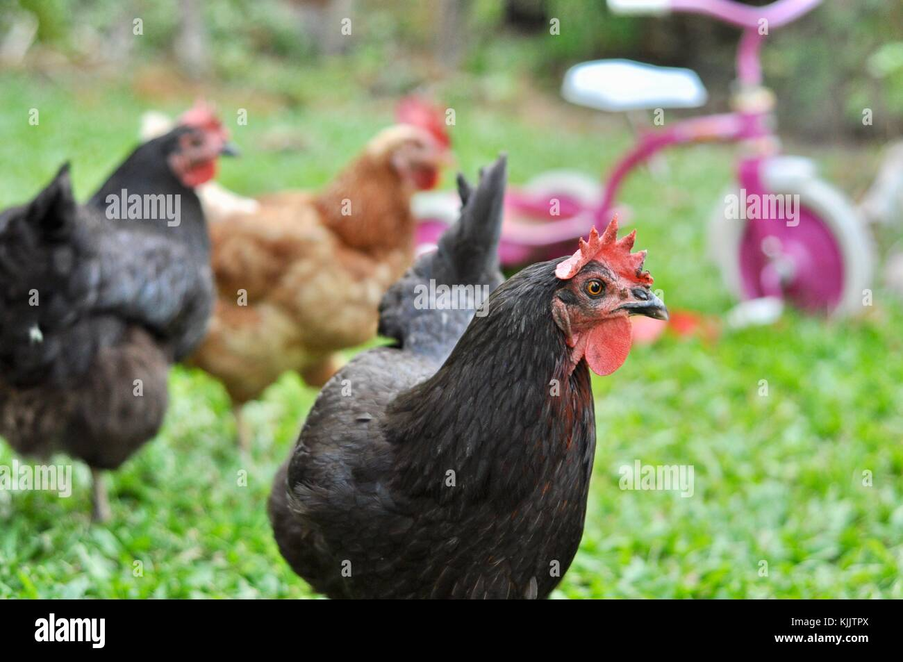 Domestic chickens in a suburban backyard, Sustainable living, Townsville, Queensland, Australia - Stock Image